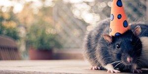 Funny-Rat-l